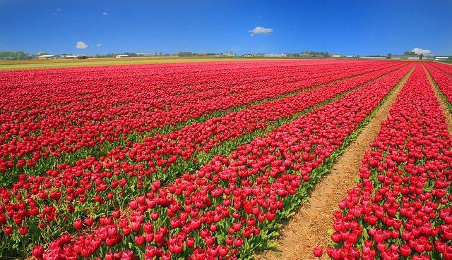 Tulip of Holland 360 Video
